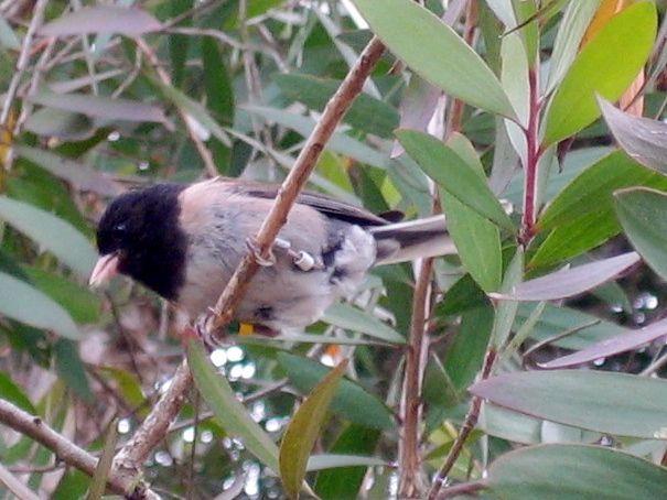 Male dark-eyed junco, thurberi                               subspecies